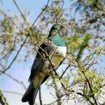 pigeon3.jpg