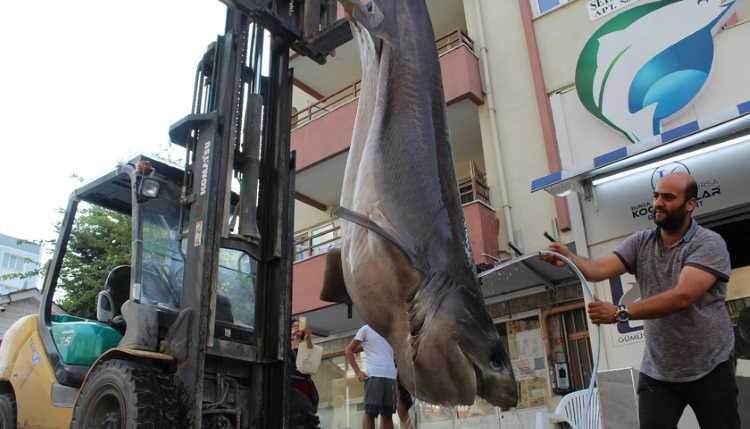Жителям Бурсы предлагают отведать мясо акулы
