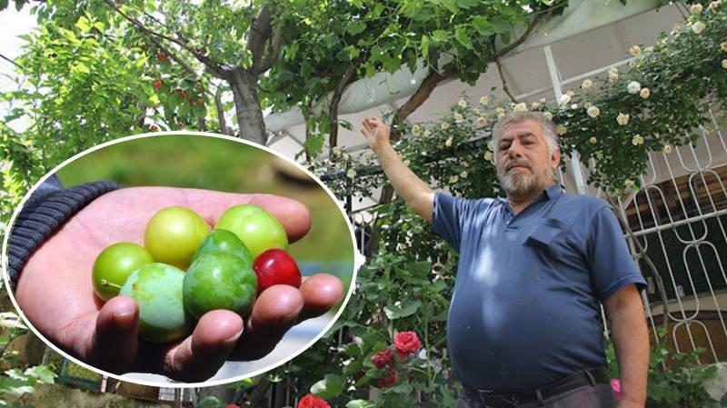 Турок выращивает 7 разных фруктов на одном дереве