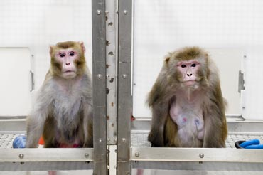Photo of monkeys from reduced diet study