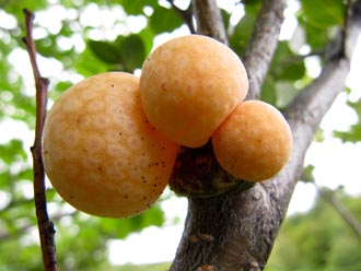 The galls that the wild yeast was discovered in. Via University of Wisconsin-Madison