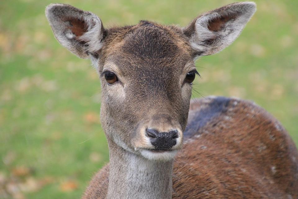 Deer_484302