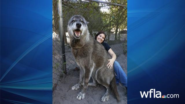 Yuki the Wolf_1552399220637.jpg_76938629_ver1.0_640_360_1552421197234.jpg.jpg