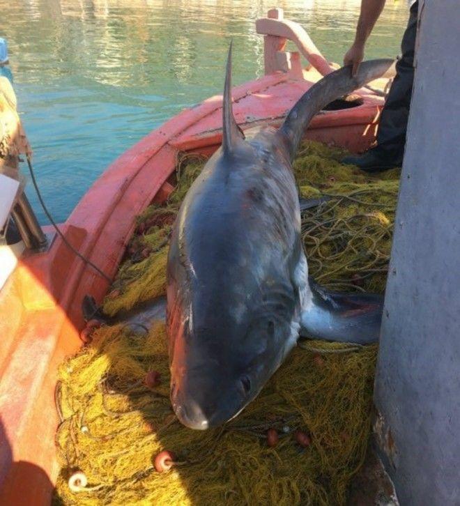 Καρχαρίας 4 μέτρων αλιεύτηκε στον Παγασητικό Κόλπο