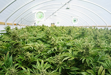 marijuana-dispensaries