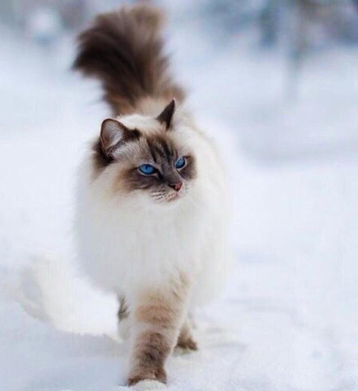 Γάτα Ιμαλαΐων