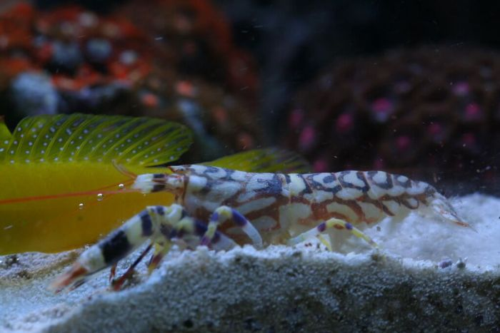 Tiger Pistol Shrimp