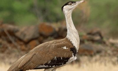 Ghorad Bird