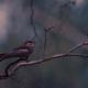 Nightjar-Bird