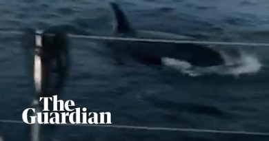 Orcas ram a boat off the coast of Spain as it travelled to Scotland