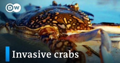 Tunisia: Invasive crabs as delicacy | Global Ideas