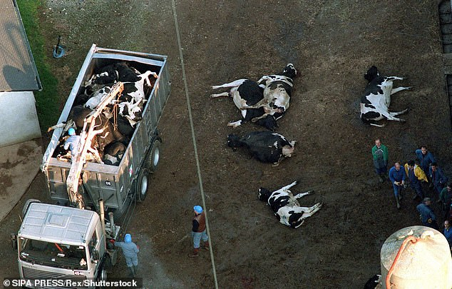 Mad cow disease, which can spread to humans and cause a deadly brain infection, led to the slaughter of all cows over the age of 30 months in 1996 (Pictured: a herd of 124 cows in France being slaughtered in 1996 because one of them had the disease)