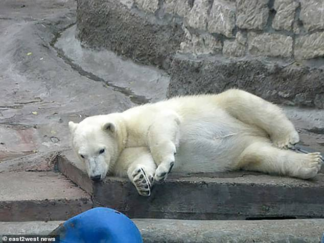 A polar bear relaxing at Moscow Zoo. The bear eventually backed away after being fended off with the broom