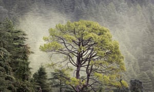 A cloud of cedar pollen floats behind a pine tree. Japan's postwar cedar-planting drive is said to be responsible for the nation's hay fever.