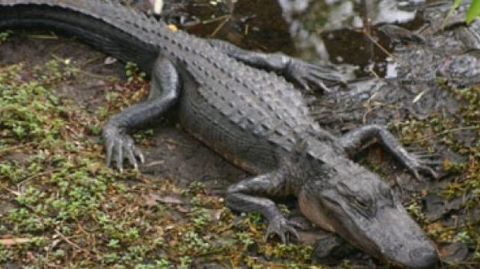 A 2-year-old girl was reportedly eaten alive when she fell into a crocodile pit on her family's farm.
