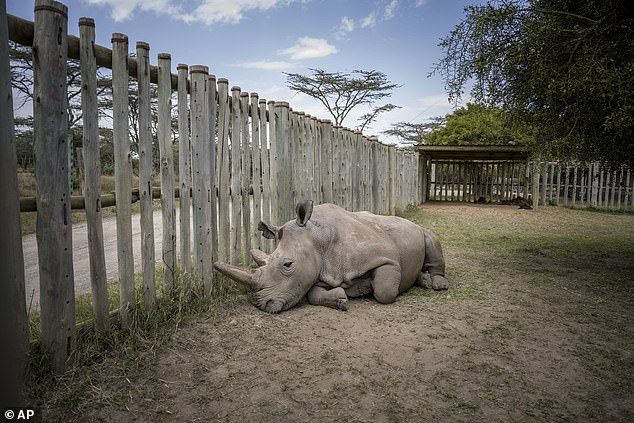 Female northern white rhino Najin is pictured recovering in her enclosure after having eggs removed at Ol Pejeta Conservancy, Kenya, this week