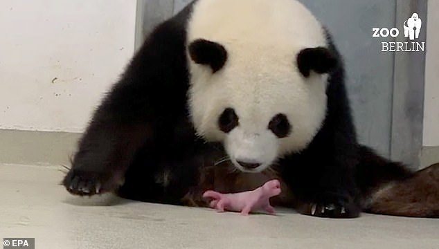'Meng Meng (pictured) and her two cubs coped well with the birth and are all in good health,' zoo director Andreas Knieriem said