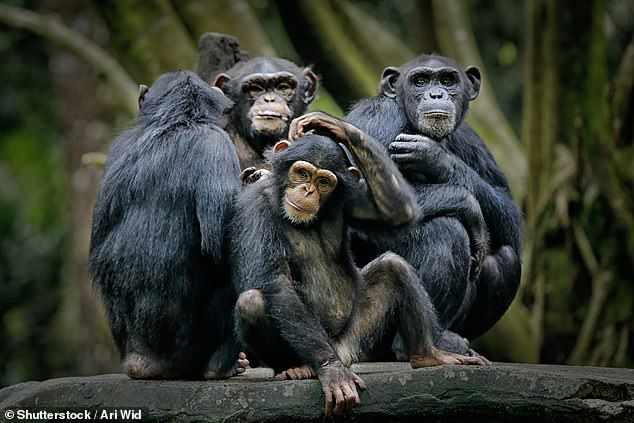 The research, published in the journal Proceedings of the National Academy of Sciences, found the stark differences between humans and chimps extends to the heart (file photo)