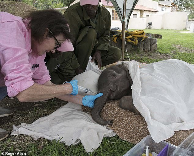 Labour of love: Ms Danckwerts tends stricken Kadiki. Kadiki had been attacked by a lion when only a day old, suffering deep claw wounds to her trunk and terrible damage to her tail