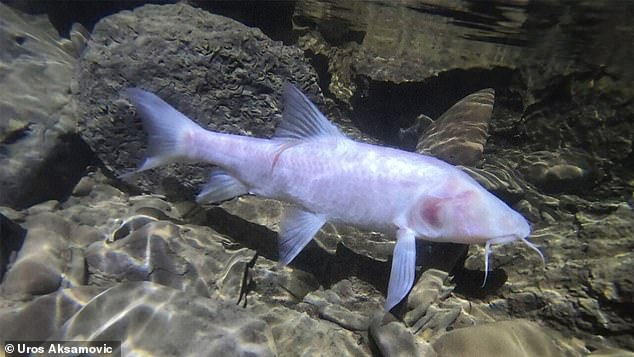 The largest subterranean fish typically grows to about 13 inches long, but the record breaking creature (pictured) was found to be over a foot in length