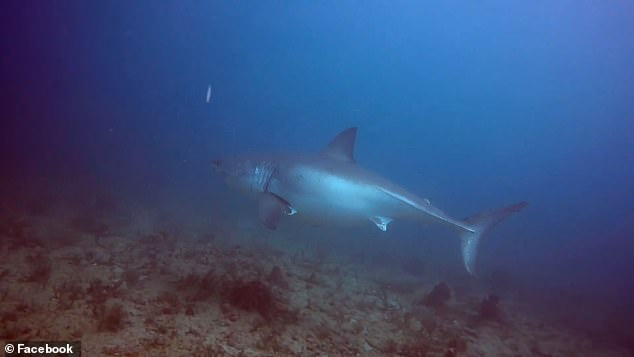 A diver shared a close encounter with a 20-foot long, pregnant great white shark while exploring the Breaker Reef off Florida's East Coast. Jim Cocci, along with 10 other divers, were on a group charter when he captured a once-in-a-lifetime opportunity of swimming next to the massive creature last week