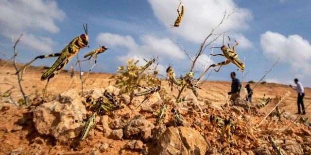 Young desert locusts that have not yet grown wings jump in the air as they are approached, as a visiting delegation from the Food and Agriculture Organization (FAO) observes them, in the desert near Garowe, in the semi-autonomous Puntland region of Somalia.