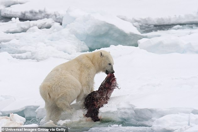 Polar bears can eat between 10 and 20 percent of their 1,200-pound body weight in one sitting, and seals, which comprise their main food source, are rarely too big to eat
