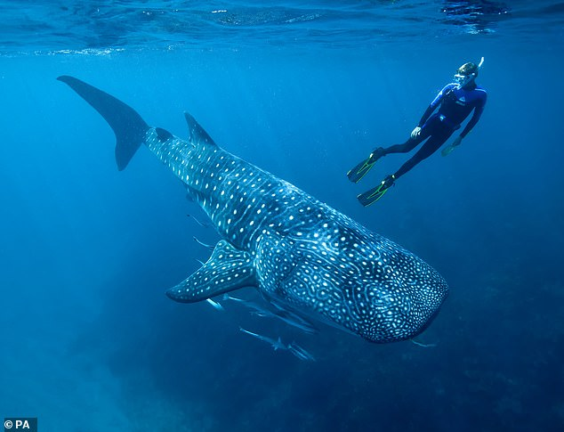 Australian Institute of Marine Science of Dr Mark Meekan, a researcher with the Australian Institute of Marine Science in Perth, swimming with a whale shark