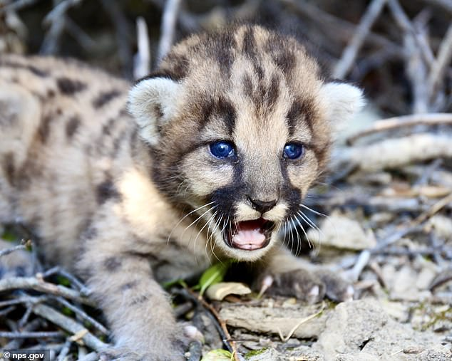 A cougar cub in the Santa Monica Mountains. Conservationists have devised a 'wildlife overpass' that will allow cougars and other animals to connect to other populations to the north, greatly increasing their genetic diversity and access to food and shelter