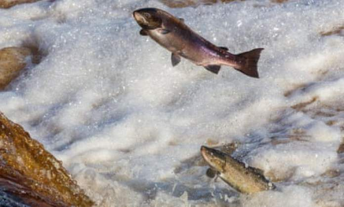 Atlantic salmon leaping on their upstream migration in the Tyne, Northumberland