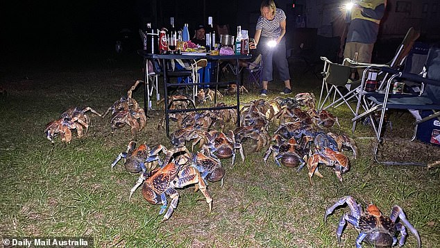 Robber crabs are the largest land crustacean in the world and many call Christmas Island home
