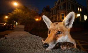 Urban fox looks over a wall
