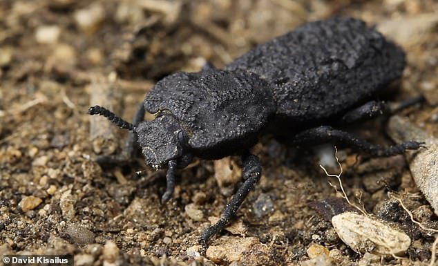 Diabolical ironclad beetle benefits from ultra-resistant exoskeleton