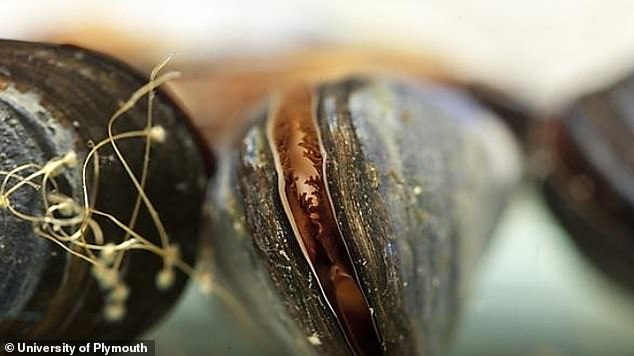Scientists at the University of Plymouth exposed the Mediterranean mussel (Mytilus galloprovincialis), found in various locations across the world, to differing quantities of tumble dryer lint. This species is also known as the black mussel because the shell can be dark blue or brown to an almost black colour