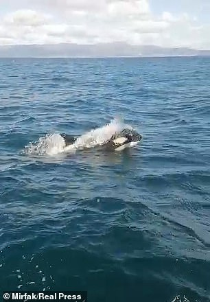A killer whale breaks through the surface of the water near A Coruña in northern Spain before attacking a yacht last month
