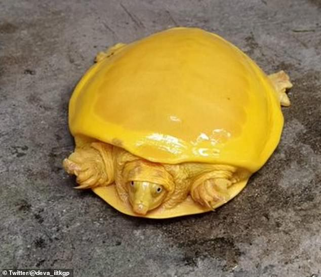 A bizarre turtle that is bright yellow has been spotted in a village pond in West Bengal, India. The rare animal is afflicted with a form of albinism