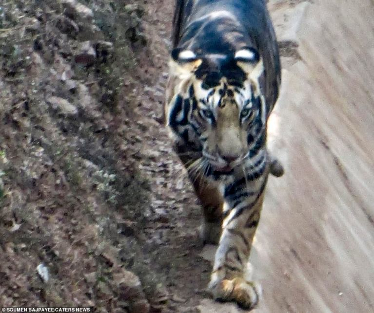 Ultra-rare BLACK tiger is spotted in India: Stunned animal lover photographs predator