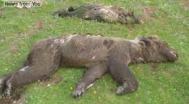 Gli orsi muoiono grazie all'ignavia degli Enti e all'inefficienza delle amministrazioni. La nota di Salviamo l'Orso dopo le morti per annegamento di alcuni esemplari