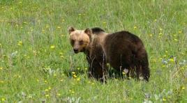 Parco, in aumento il numero degli orsi sul territorio molisano