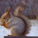 Πώς προστατεύονται οι σκίουροι;