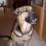 Σκύλος σώζει τον ιδιοκτήτη του μέσω του τηλεφώνου