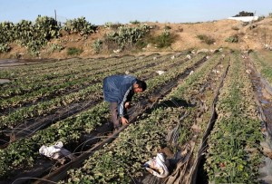 A Palestinian farmer collects damaged strawberries at his field in Beit Lahia, in the northern Gaza Strip, December 16, 2013. Gaza's agricultural sector suffered devastating losses during four days of severe weather conditions in the coastal territory, Gaza officials said Monday. Photo by Ashraf Amra