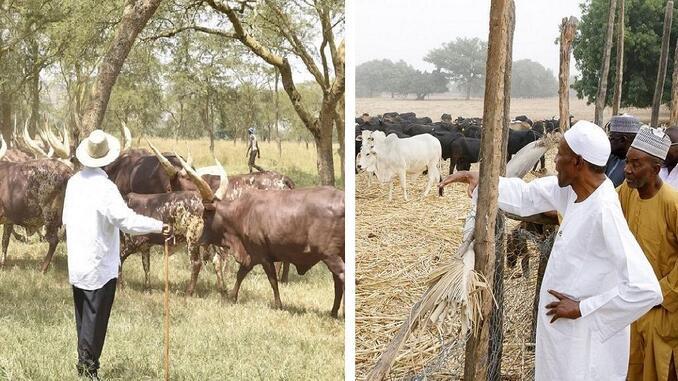 buhari cow 1