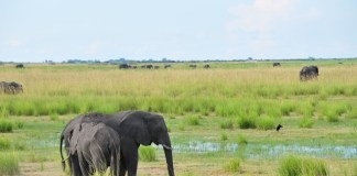 Two elephants are seen in the Chobe National Park, northern Botswana, March 24, 2015. The Kasane Conference on The Illegal Wildlife Trade was held on Tuesday in Kasane, the gateway to the Chobe National Park, with delegations from 35 countries and around 20 international organizations. (Xinhua/Lu Tianran)(azp)