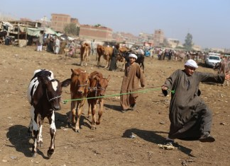 Two Egyptian boys are seen at a livestock market set for the upcoming Muslim sacrificial festival Eid al-Adha, 60 km north of Cairo, Egypt, on Sept. 19, 2015. Muslims across the world are preparing to celebrate the annual festival of Eid al-Adha, or the Festival of Sacrifice, which marks the end of the Hajj pilgrimage to Mecca and in commemoration of Prophet Abraham's readiness to sacrifice his son to show obedience to God. (Xinhua/Ahmed Gomaa)