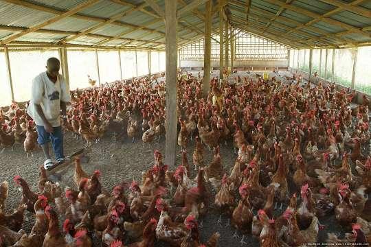 poultry-farmers