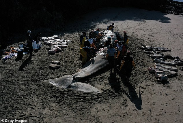 Scientists are currently performing autopsies of some of the dead whales and have reported that three had very little food in their stomachs and died by starvation
