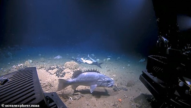 Groupers are large bony fish whereas sharks are described as cartilaginous and are both deep-sea species living at depths of around 700-2,000 feet (213-610 meters). The onlooking scientists claim the hungry fish used their exploratory rover for cover when hunting