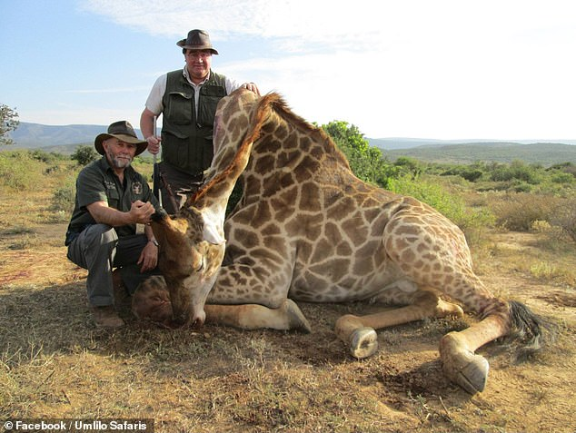 A ban on the 'repugnant' hobby of rich people who enjoy hunting exotic animals would be bad for conservation, a group of scientists has claimed. Pictured, a baby giraffe that was killed by trophy hunter Charlie Reynolds, right, on a trip run by Umlilo Safaris of South Africa