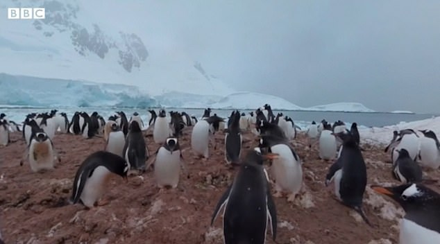 Pregnant women can also walk on Mars or among penguins and buffalo